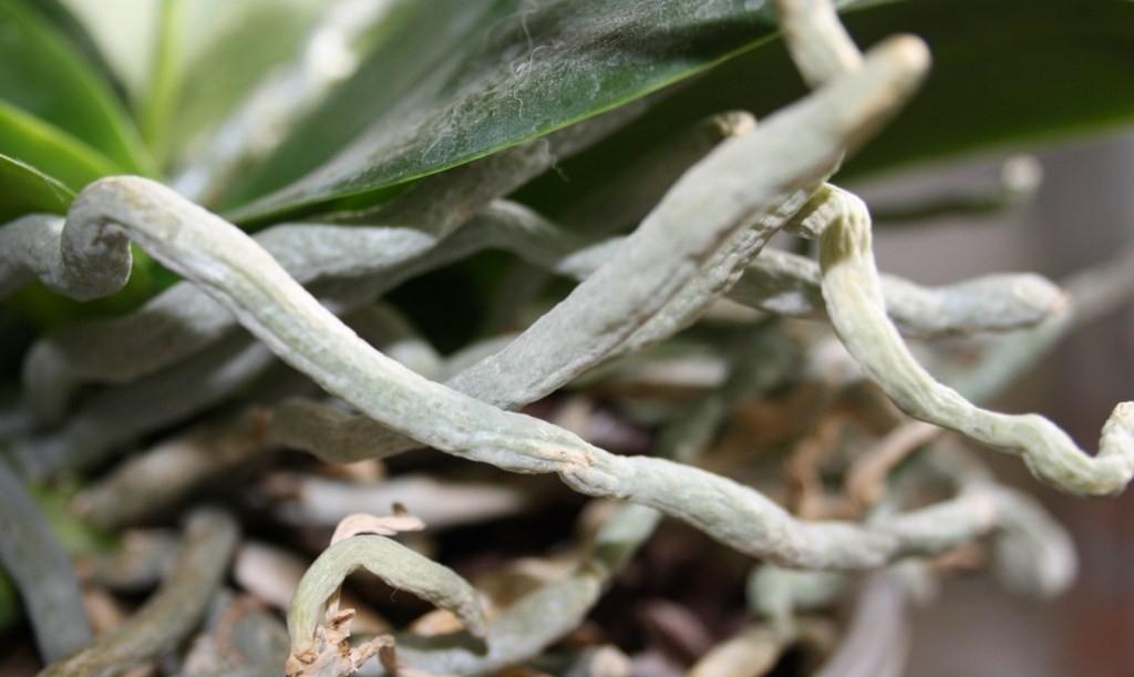 culture des orchidées, le phalaenopsis – mon petit blog